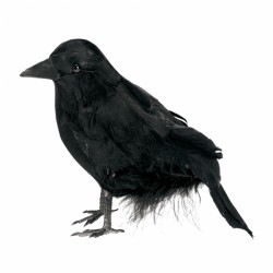 Kruk czarny